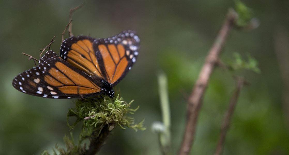 Las mariposas permanecen cinco meses del año en los bosques mexicanos, de noviembre a marzo