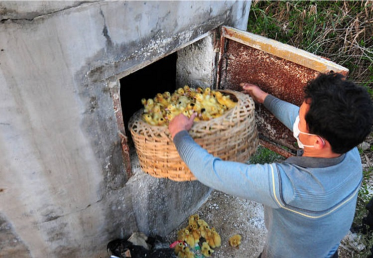 Un trabajador de una granja avícola se dispone a sacrificar patos como medida sanitaria contra la influenza aviar (Getty Images)