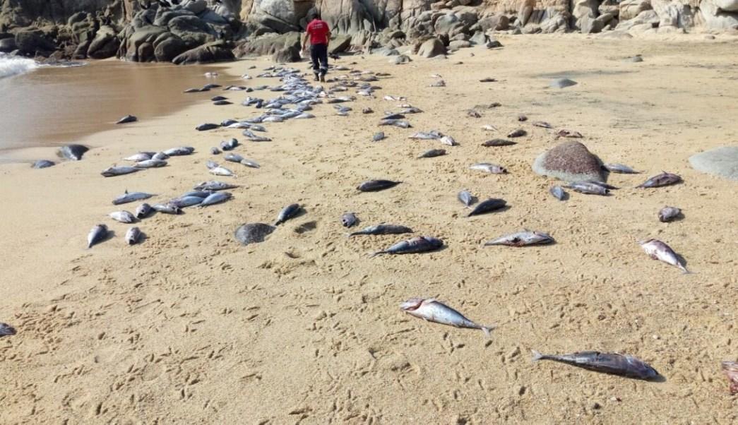 Los peces muertos aparecieron en la playa El Arrocito, en Bahías de Huatulco, Oaxaca.