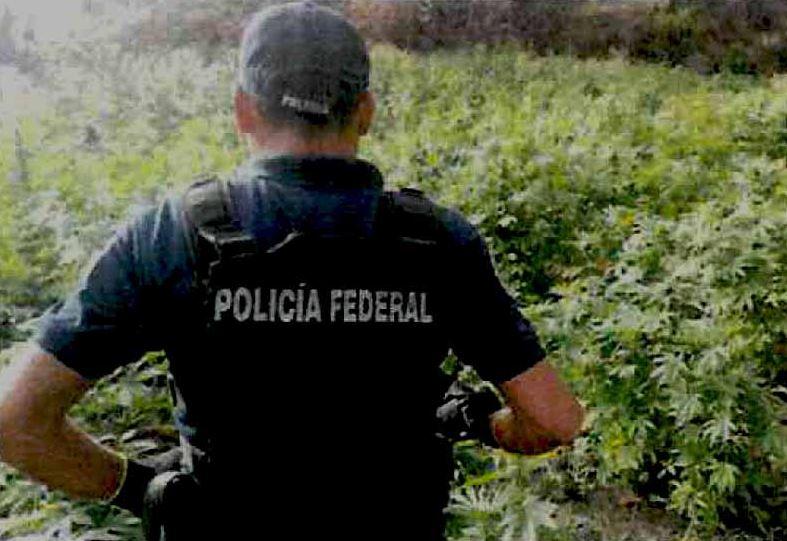 Fuerza Única destruyen más de 100 mil plantas de mariguana en Jalisco