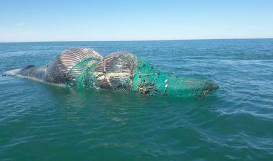 Atienden el varamiento de una ballena que apareció muerta en Baja California. (Profepa)