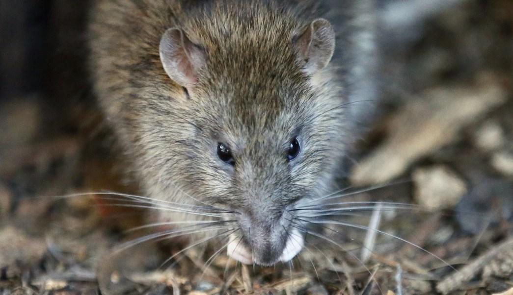 Cierran plazas y jardines de par s por plaga de ratas for Ahuyentar ratas jardin