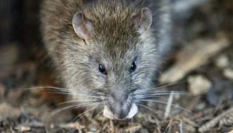 Una rata sobre el parque de la Torre Saint Jacques, en el centro de París (AP/archivo)