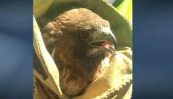 Rescatan a un águila cola roja en Santa Catarina, Nuevo León. (Noticieros Televisa)