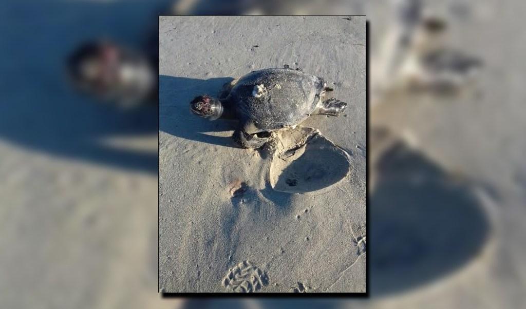 Tortuga hallada muerta en playas de Baja California Sur; el fenómeno de marea roja provoca la muerte a 86 quelonios en esa entidad