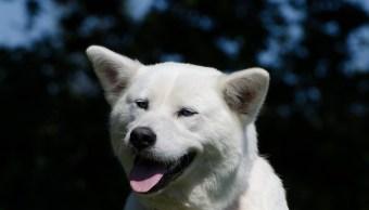 Akita, thor, perro, brasil