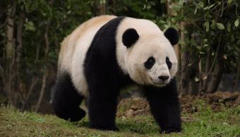 Bao Bao se pasea en la base de Dujiangyang del popular Centro de Conservación e Investigación del Panda Gigante de China en Sichuan. (Reuters, archivo)