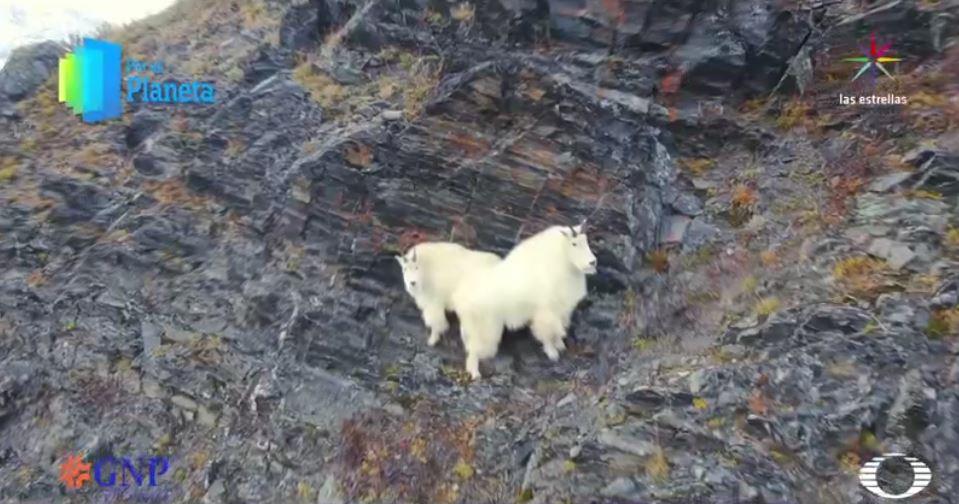 Cabras de las nieves en Alaska (Por el Planeta/Noticieros Televisa)