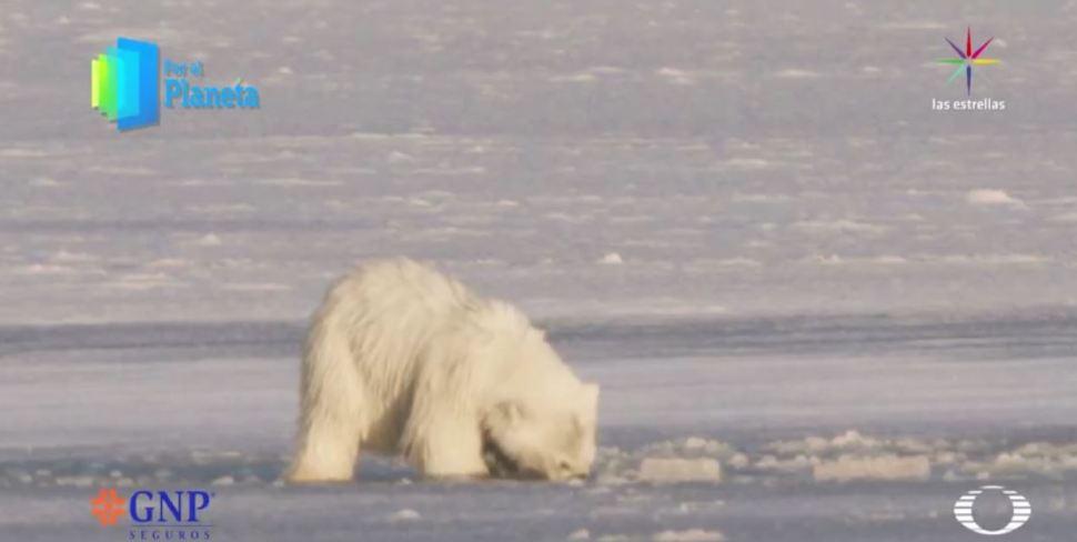 Cachorro de oso polar hunde la cabeza en el hielo. (Noticieros Televisa)