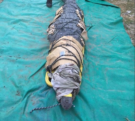 Captura del cocodrilo que ocasionó una pérdida humana. (@CONANP_mx)
