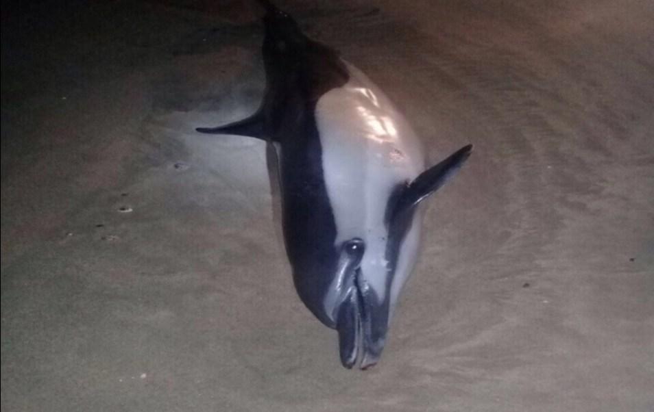 Delfín que es hallado muerto en playas de Cabo Corrientes, Jalisco; personal de la Profepa atiende el incidente (Twitter @PROFEPA_Mx)