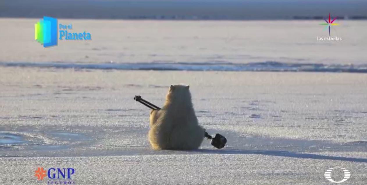 Los Gigantes de Alaska, el oso polar. (Noticieros Televisa)