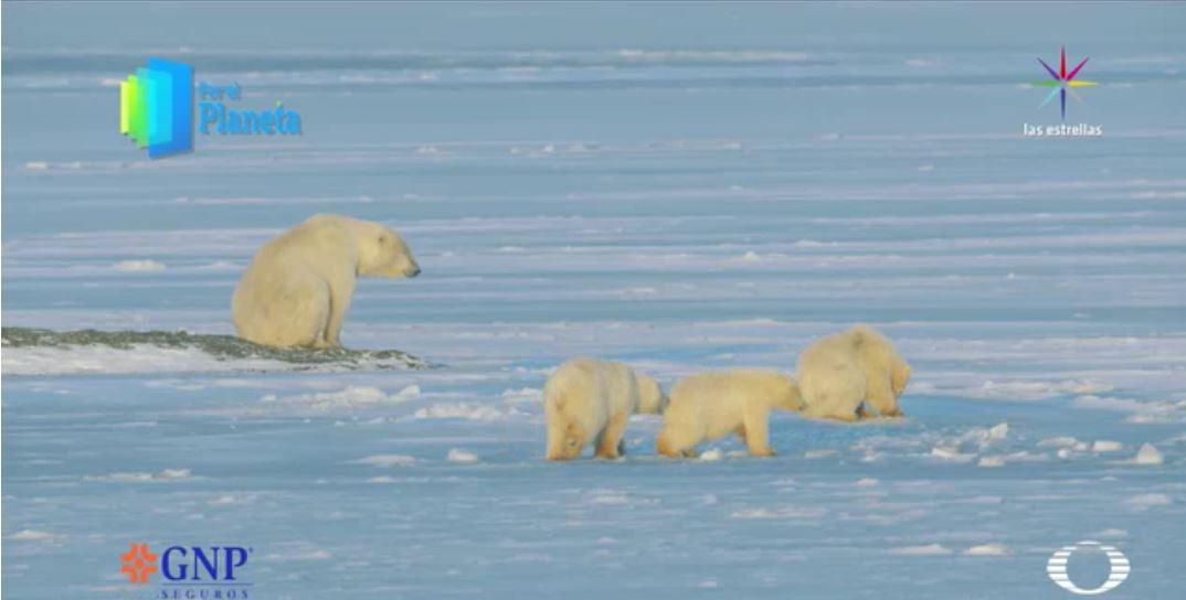 Los Gigantes de Alaska, la hembra y sus tres cachorros en su hábitat. (Noticieros Televisa)