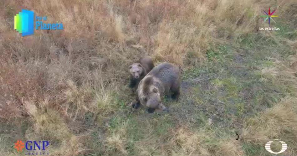 Osos pardos de Alaska (Por el Planeta/Noticieros Televisa)