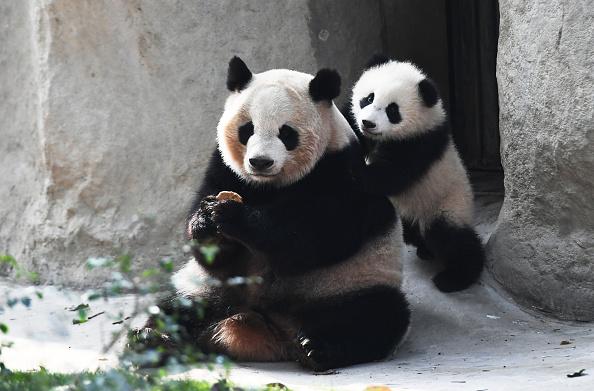 Pandas en un centro de investigación en Chengdu, provincia de Sichuan, China; el gobierno del país asiático creará un santuario para esa especie (Getty Images, archivo)