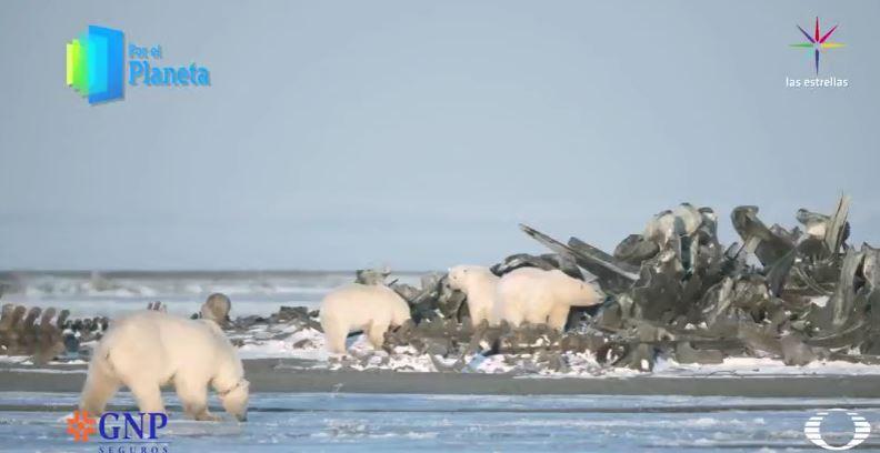 Pila de huesos de ballena con osos polares (Por el Planeta/Noticieros Televisa)