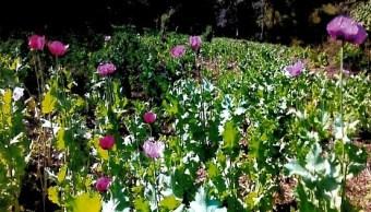 Plantío de amapola en Jalisco. (PGR, Archivo)