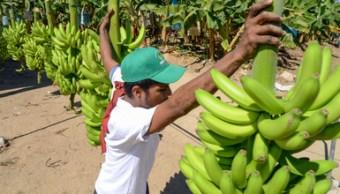 Los cinco principales estados productores de plátano son son Chiapas, Tabasco, Veracruz, Jalisco y Colima. (Sagarpa, archivo)
