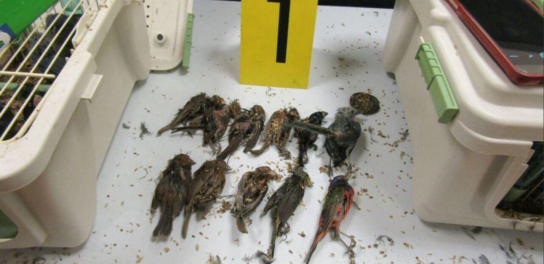 Detienen en aeropuerto de Cancún a español que transportaba 168 aves en su equipaje