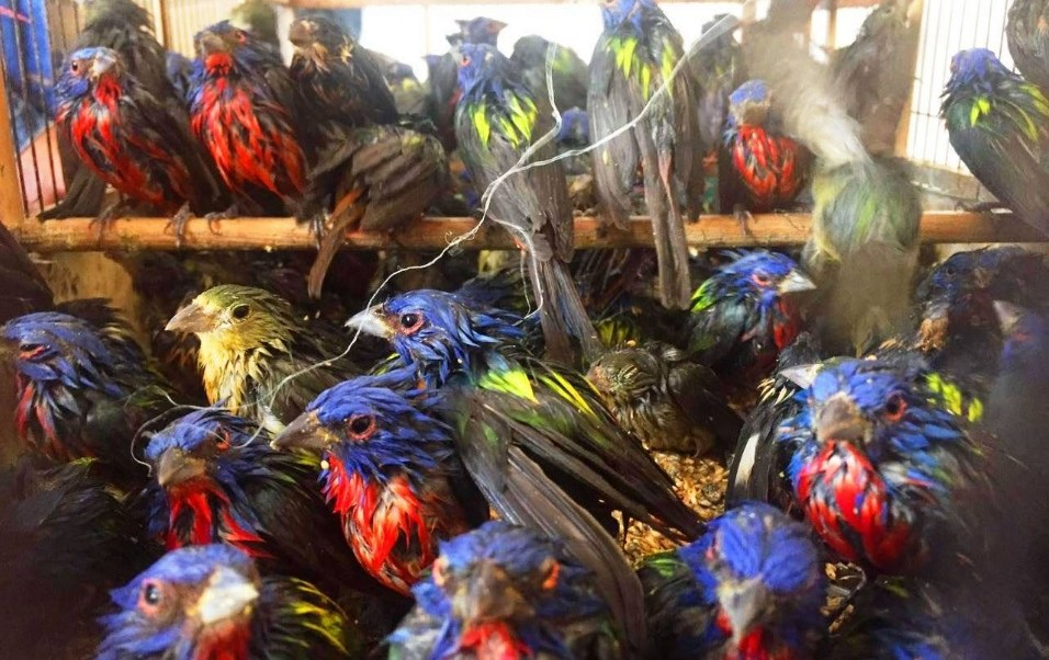 Profepa asegura aves silvestres; la dependencia participa en operativo internacional conjunto con la Interpol (Twitter @PROFEPA_Mx)