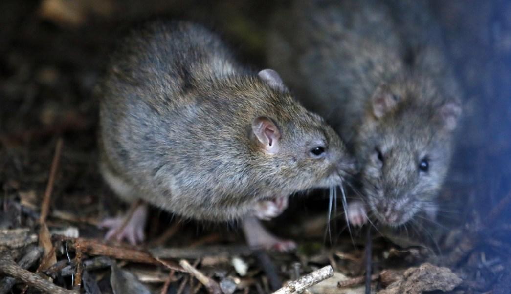 Dos ratas se reúnen en un arbusto en el parque de la torre Saint Jacques, en el centro de París, Francia (AP)