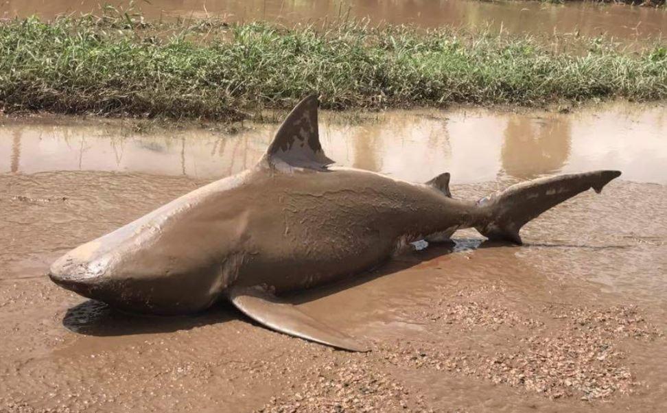 Un tiburón toro, de metro y medio de largo, apareció en una de las calles de la localidad de Ayr, tras las recientes inundaciones provocadas por el ciclón tropical Debbie. (@QldFES)