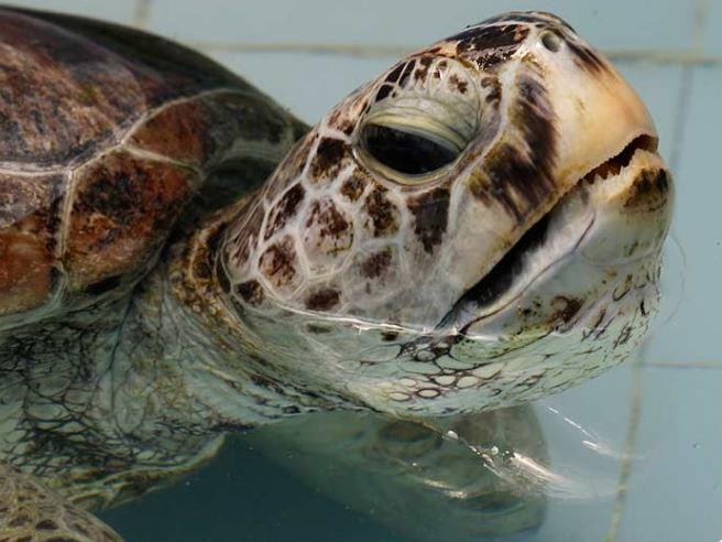 Una tortuga a la que le extrajeron cientos de monedas del estómago, nadó por primera vez desde que la operaron. (AP)