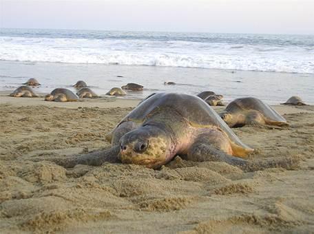 12 mil tortugas golfina arriban a las playas Morro y Escobilla, en Oaxaca (Semarnat)