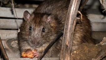 Dos ratas pueden dar nacimiento a 15 mil ratas en tan solo un año.