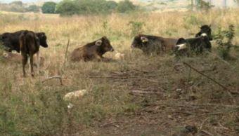 Ganaderos veracruzanos implementan nuevas técnicas de pastoreo por sequía. (Noticieros Televisa)