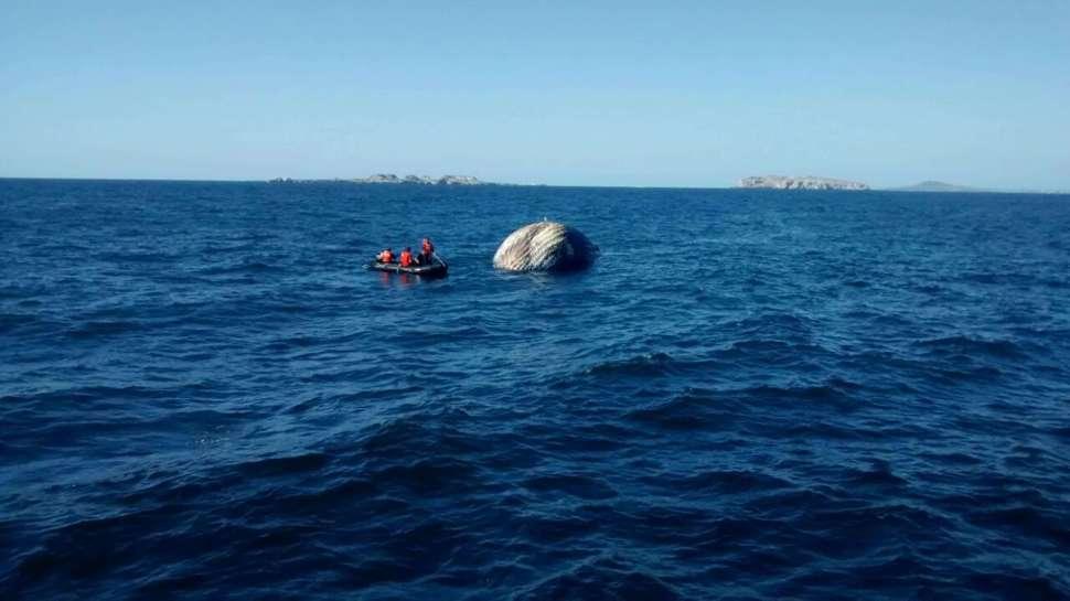 Hunden cadáver de ballena jorobada frente a las costas de Jalisco (Noticieros Televisa)