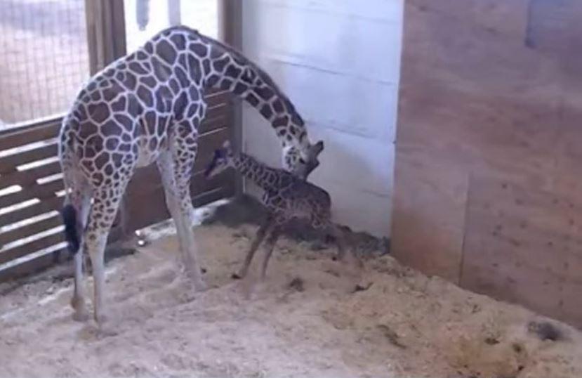 La famosa jirafa dio a luz a su cuarta cría después de unos 15 meses de gestación. (Tomada de video)