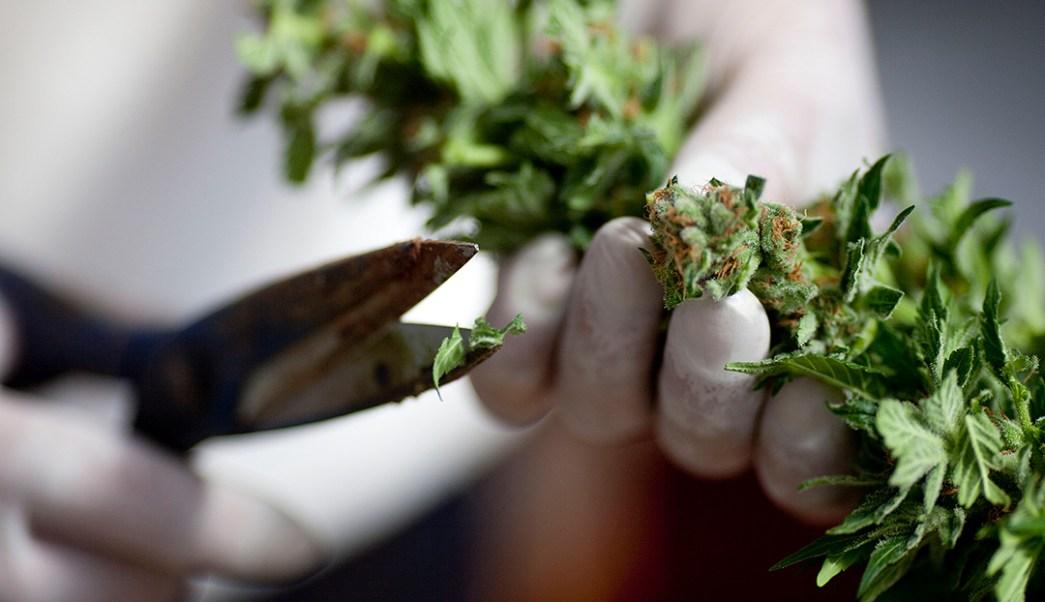 Uso medicinal de la marihuana.