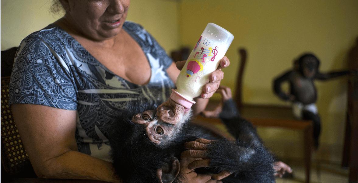Marta Llanes da su biberón a uno de los chimpancés que viven con ella en su departamento habanero. (AP)