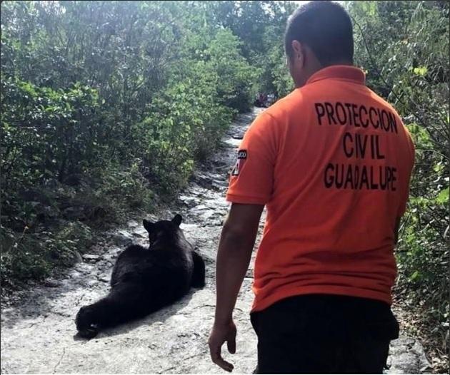 Personal de Protección Civil de Guadalupe captura al oso que merodeaba el Cerro de la Silla (Twitter @MAHP1804)
