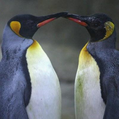 Pingüinos gay roban huevos para formar familia en zoológico chino