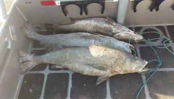 Detienen a una persona por transportar totoaba en Mexicali, Baja California. (Twitter @Profepa)