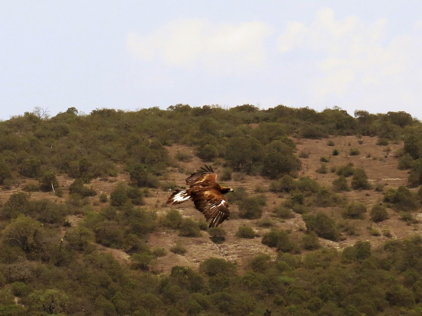 Profepa reintegra a su hábitat a un ejemplar de águila real en SLP (Profepa)