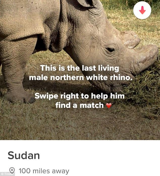 Sudán busca novia en Tinder para salvar a los rinocerontes blancos de la extinción.