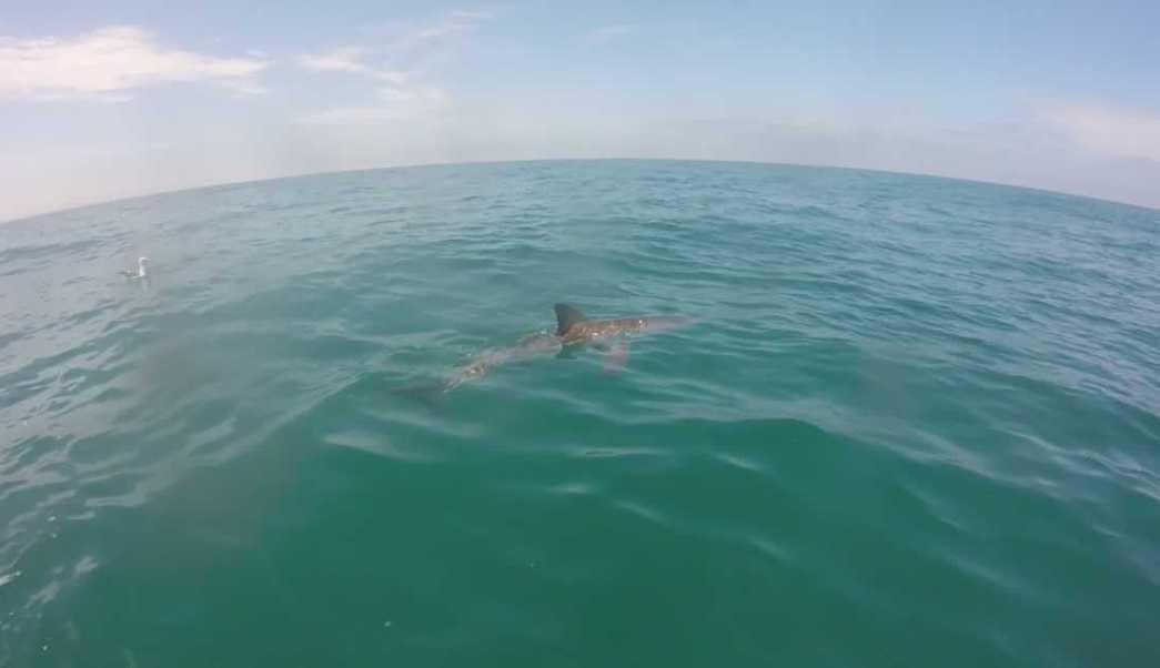 Tiburón juvenil nada en aguas de la Bahía de Sebastián Vizcaíno, Baja California (futureoftheocean)