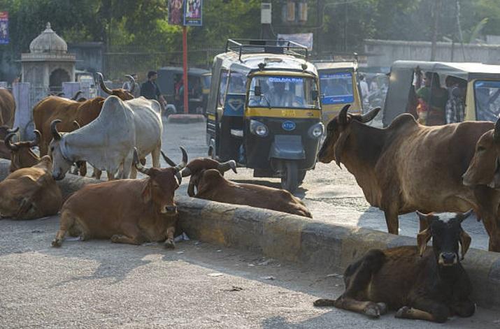 Algunas vacas permanecen en las calles y bloquean el tránsito en India (Getty Images)