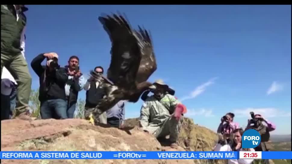 noticias, hora 21, primera, liberacion, aguila real, Aguascalientes