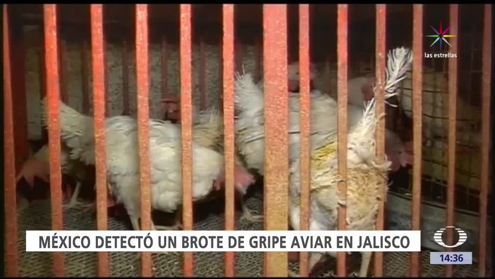 noticias, televisa news, Brote, gripe aviar, Jalisco, OMS