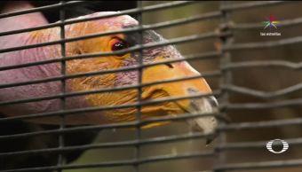 noticias, televisa news, Nace, condor de California, CDMX, Zoologico de Chapultepec
