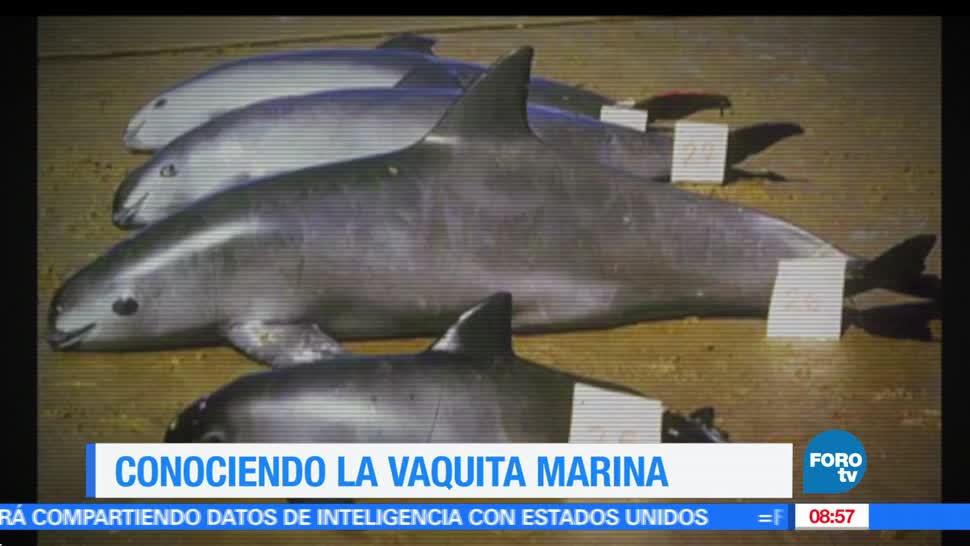 noticias, FOROtv, vaquita marina, alto peligro, extinción