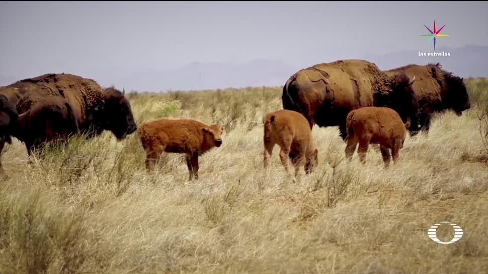 noticias, televisa, Bisontes, regresan, Chihuahua, manada de bisontes