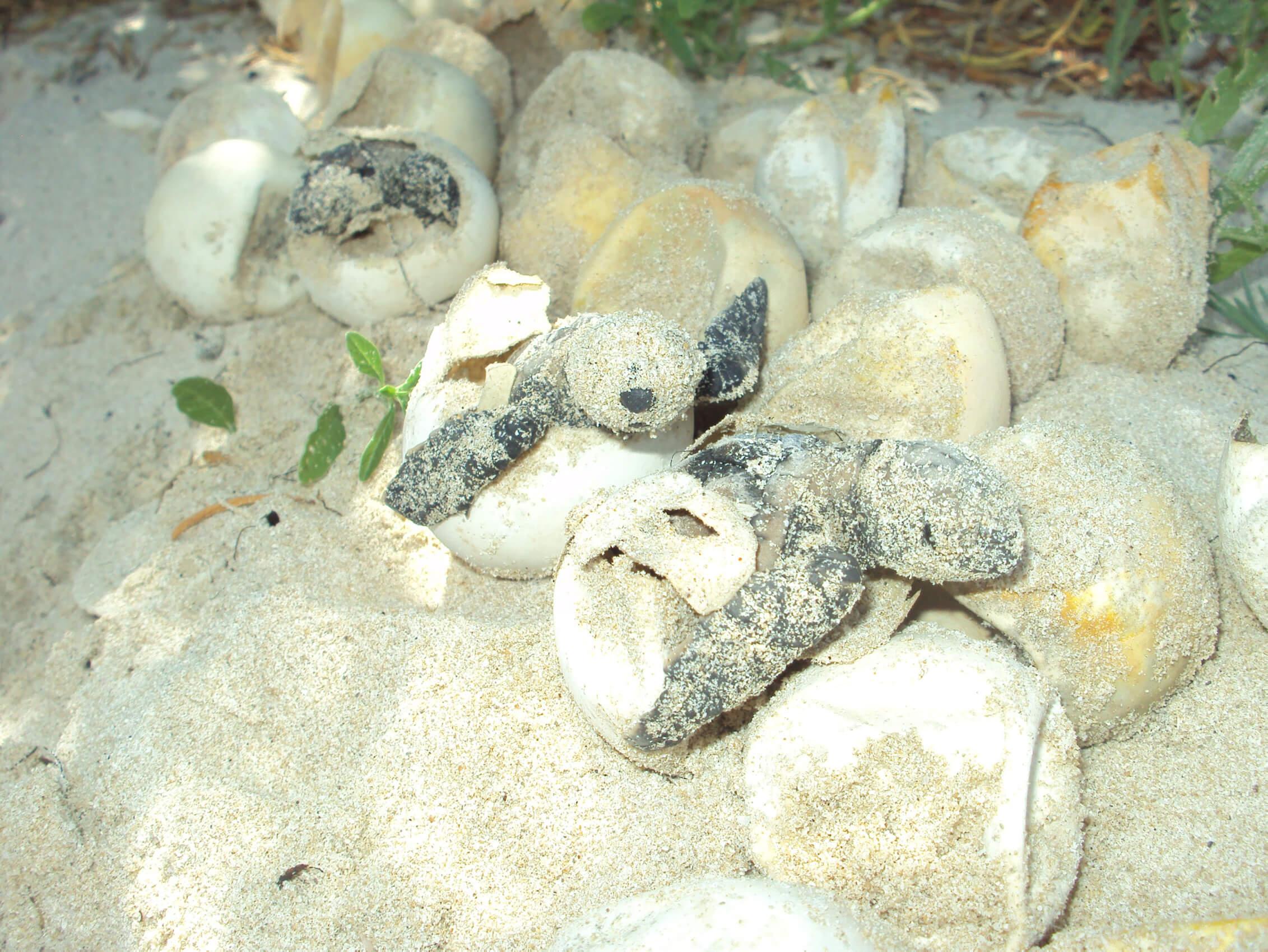 Recupera PF 5 mil huevos de tortuga en Oaxaca