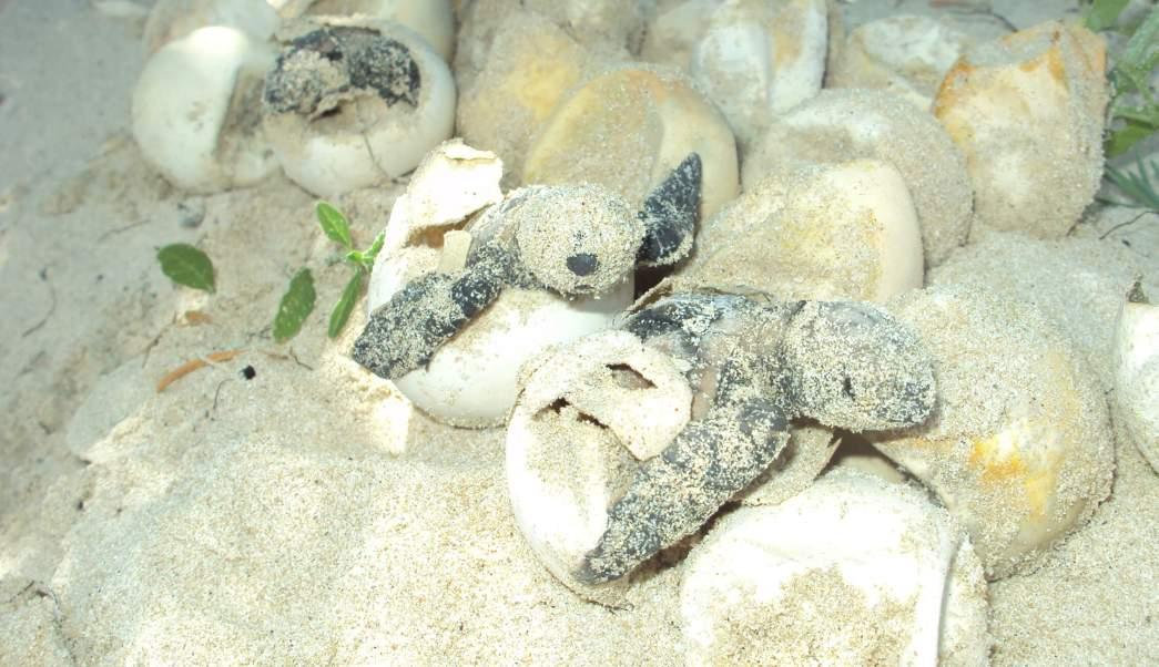 El fin de semana pasado, se registró la primera arribada de tortugas golfinas en la playa 'La Escobilla'. (Notimex, archivo)