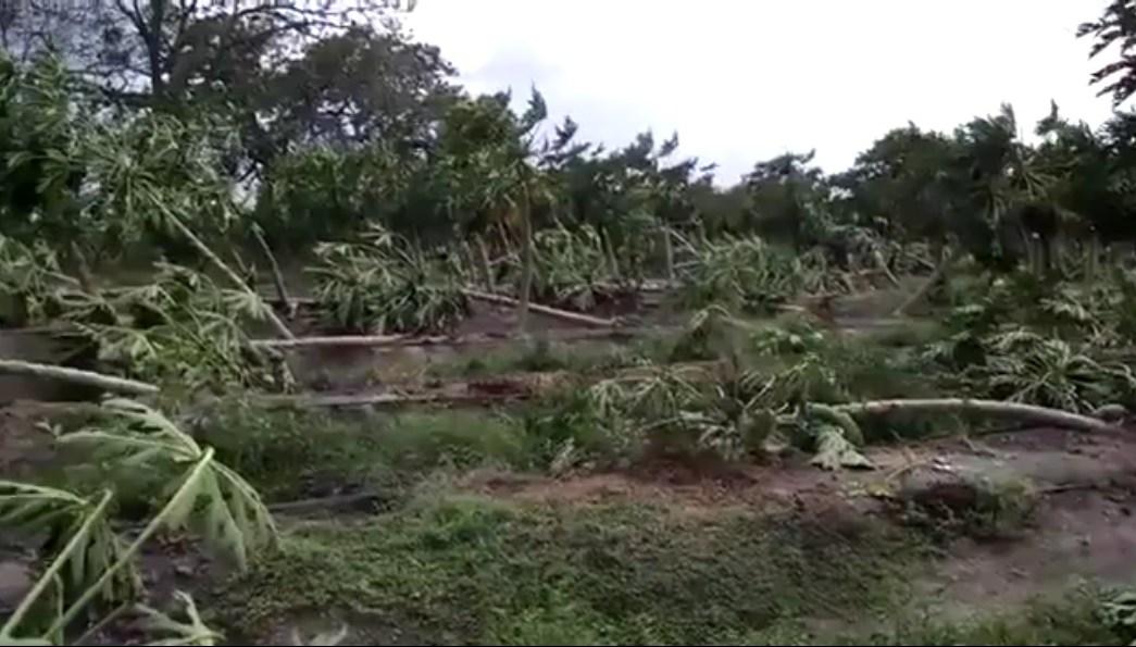 Sembradio de papaya afectado por vientos