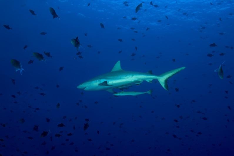 Tiburón gris en el Océano Índico (Getty Images